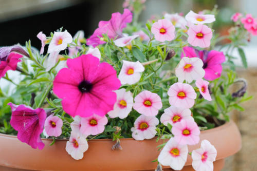 fiori,hotel metropol,rosa,fucsia,viola